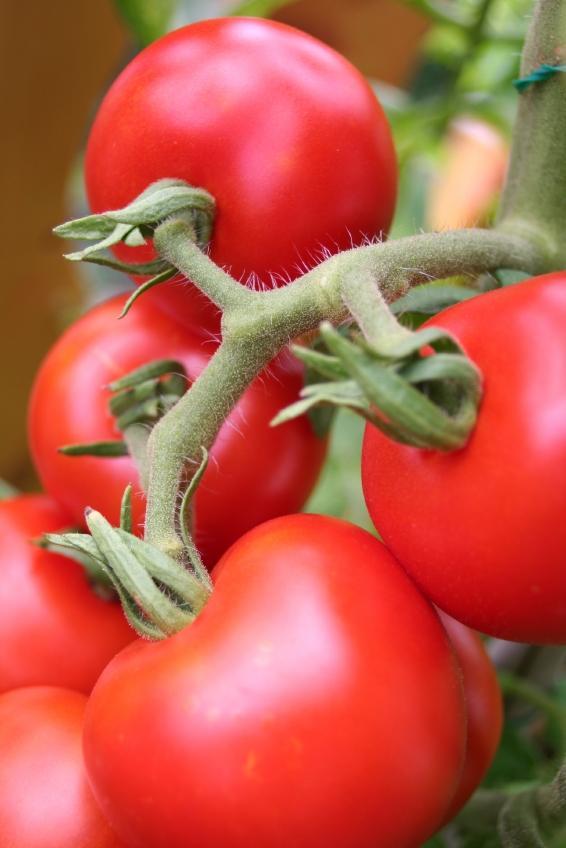 https://cf.ltkcdn.net/garden/images/slide/112083-566x848-Tomatoes-on-Vine.jpg