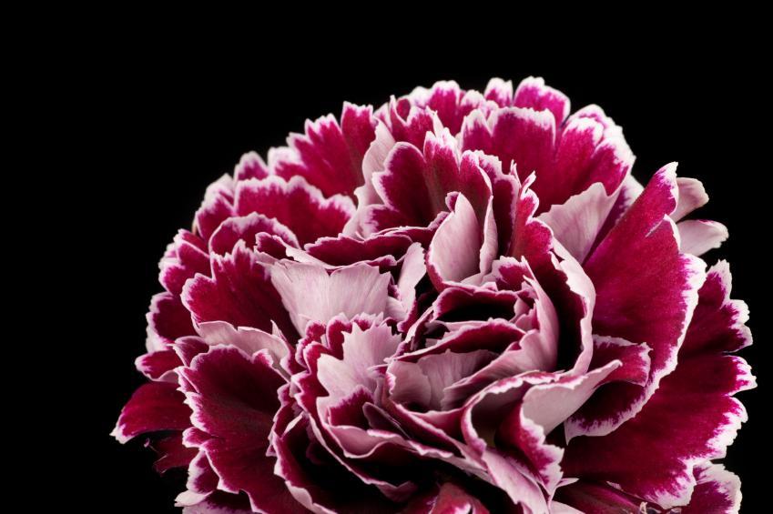 https://cf.ltkcdn.net/garden/images/slide/112177-849x565-carnation.jpg
