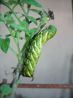 https://cf.ltkcdn.net/garden/images/slide/112185-300x400-HornwormAndTachinidFly.jpg