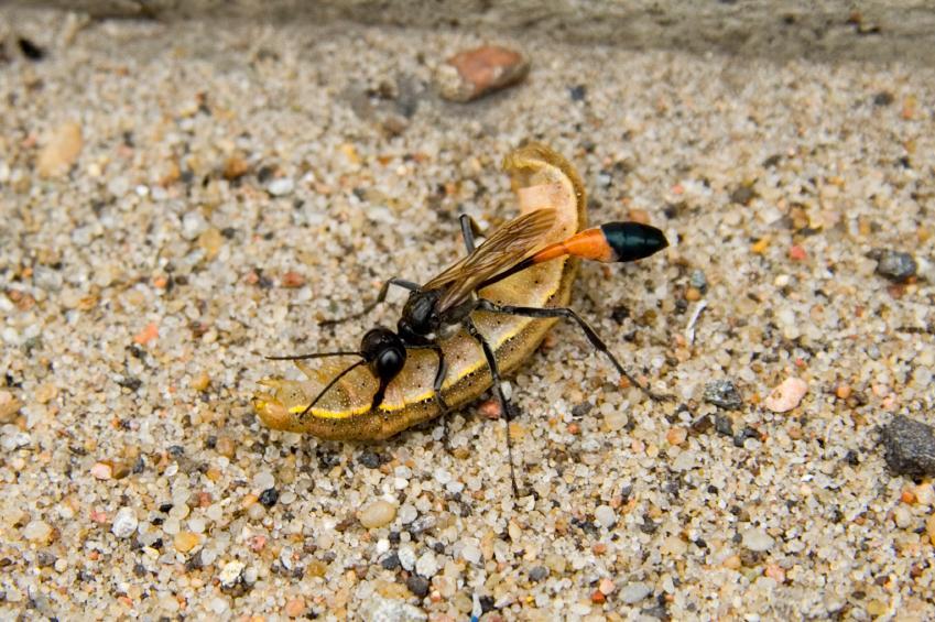 https://cf.ltkcdn.net/garden/images/slide/112190-849x565-Parasitic-Wasp.jpg