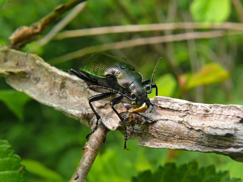https://cf.ltkcdn.net/garden/images/slide/112192-799x601-Ground-Beetle.jpg