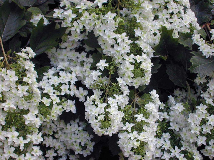 https://cf.ltkcdn.net/garden/images/slide/112210-849x637-hydrangea_quercifolia_snow_flake.jpg