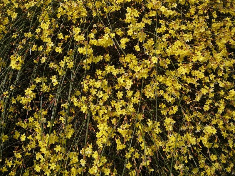 https://cf.ltkcdn.net/garden/images/slide/112227-800x600-Winter-Jasmine.jpg