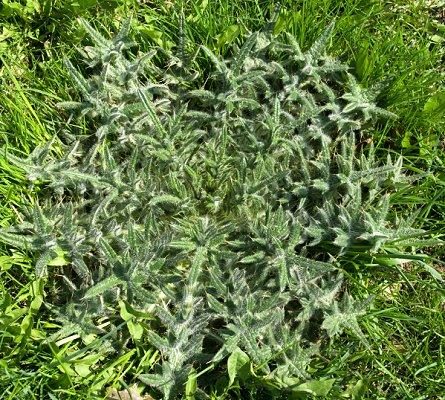 Lawn Weeds Identification