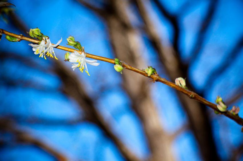 https://cf.ltkcdn.net/garden/images/slide/112270-849x565-Winter_Honeysuckle.jpg