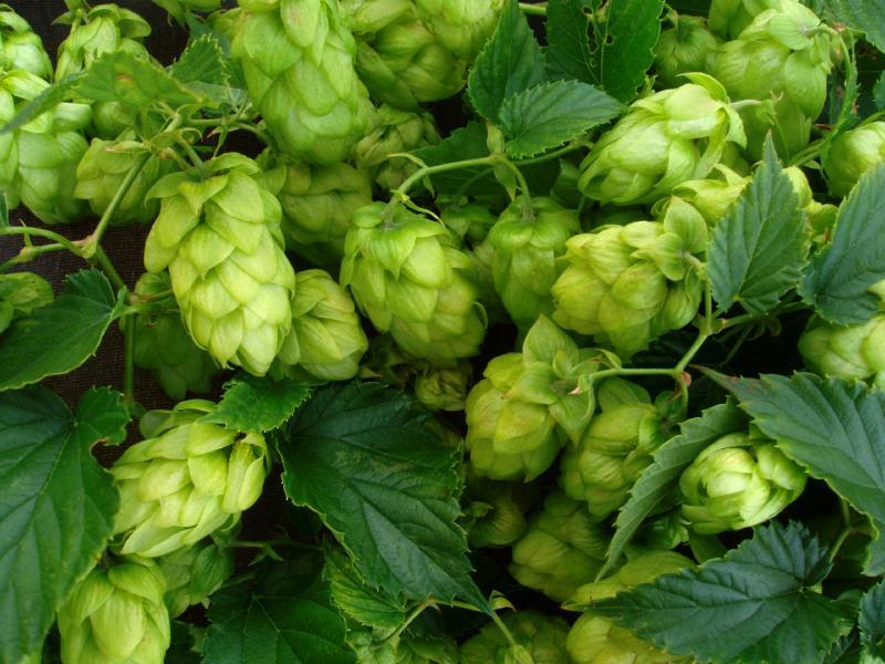 Identifying climbing vines lovetoknow hops vine mightylinksfo