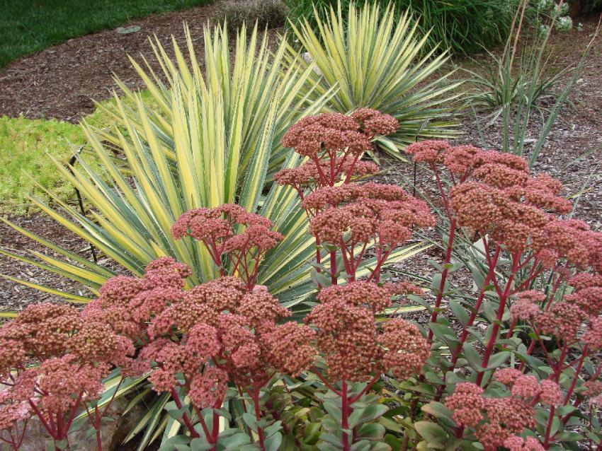 https://cf.ltkcdn.net/garden/images/slide/136545-850x638r1-Sedums_and_Yucca.JPG