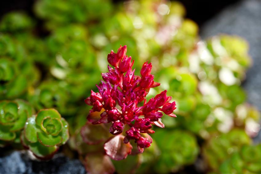 https://cf.ltkcdn.net/garden/images/slide/136548-849x565r1-sedumpurplecarpet3.jpg