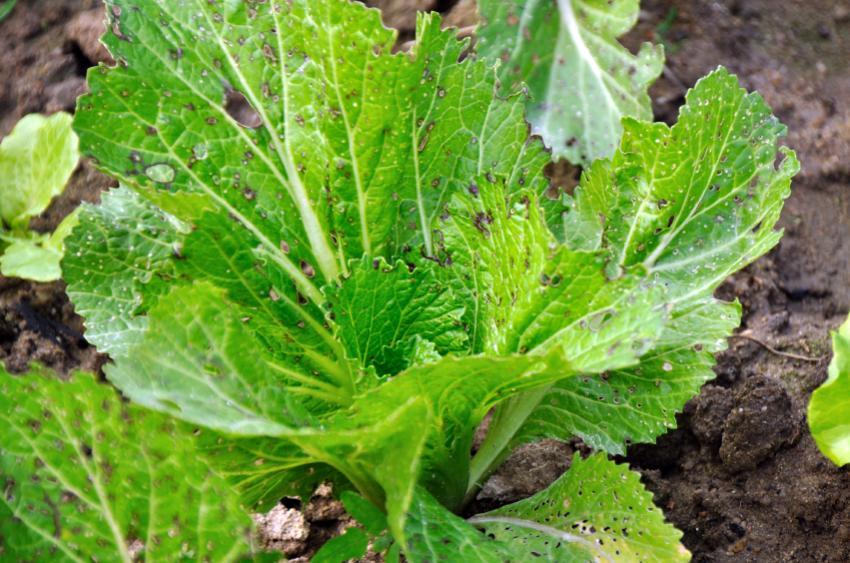 https://cf.ltkcdn.net/garden/images/slide/149771-850x563-Worm-eaten-Romaine.jpg
