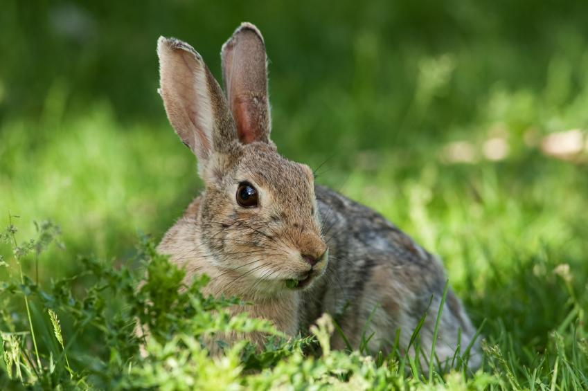 https://cf.ltkcdn.net/garden/images/slide/149778-849x565-Wild-rabbit.jpg