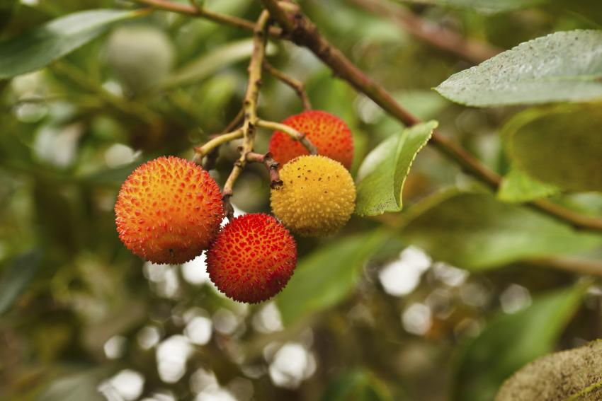 https://cf.ltkcdn.net/garden/images/slide/166492-850x567-strawberrytree.jpg