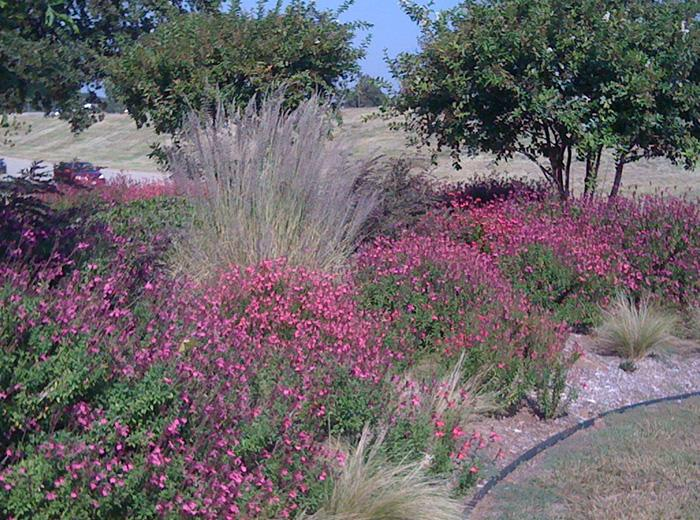 salvia greggii with muhly grass - Garden Design Using Grasses