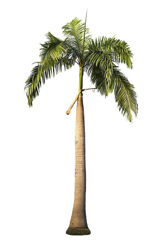 https://cf.ltkcdn.net/garden/images/slide/175474-566x850-royal-palm-tree.jpg