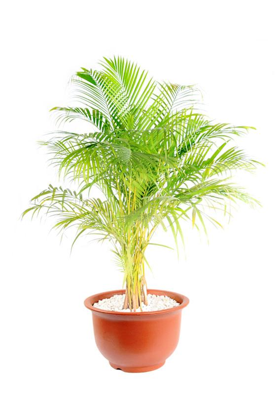 https://cf.ltkcdn.net/garden/images/slide/175475-566x850-chrysalidocarpus-lutescens.jpg