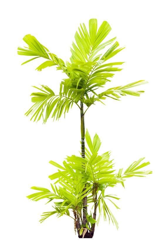 https://cf.ltkcdn.net/garden/images/slide/175476-566x850-ptychosperma-macarthuri.jpg