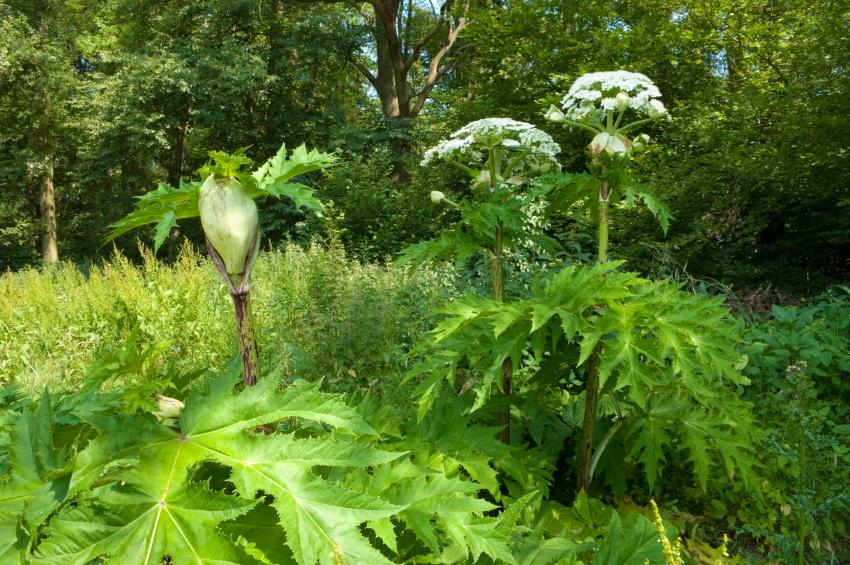 https://cf.ltkcdn.net/garden/images/slide/176027-850x565-unusual-plant-hogweed.jpg