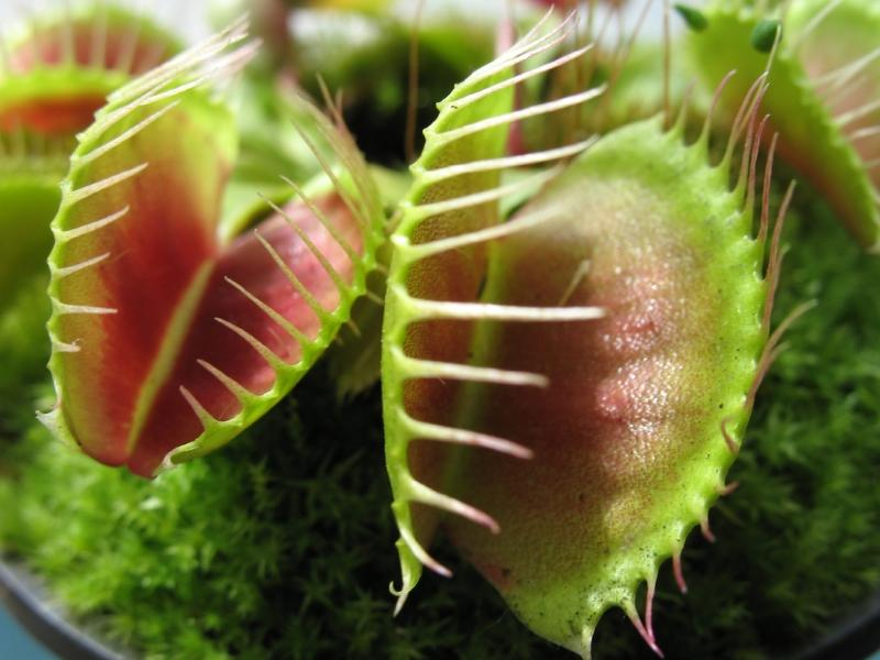 https://cf.ltkcdn.net/garden/images/slide/176030-800x600-unusual-plant-venus-flytrap.jpg