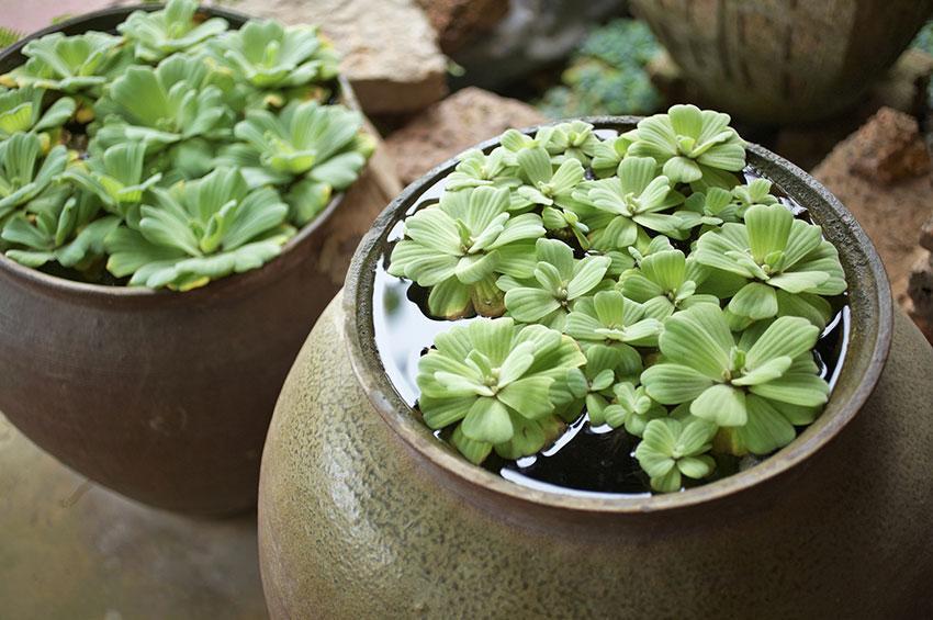 https://cf.ltkcdn.net/garden/images/slide/178720-850x565-water-plants-in-vessels.jpg