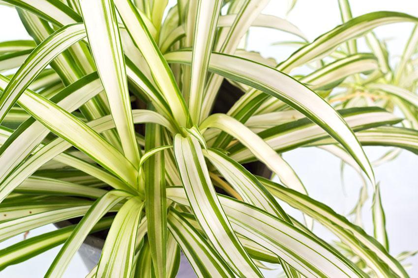 https://cf.ltkcdn.net/garden/images/slide/192013-850x566-spider-plant.jpg