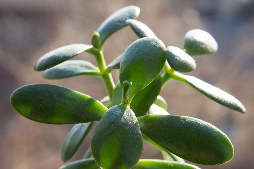 https://cf.ltkcdn.net/garden/images/slide/192014-850x566-Jade-Plant.jpg