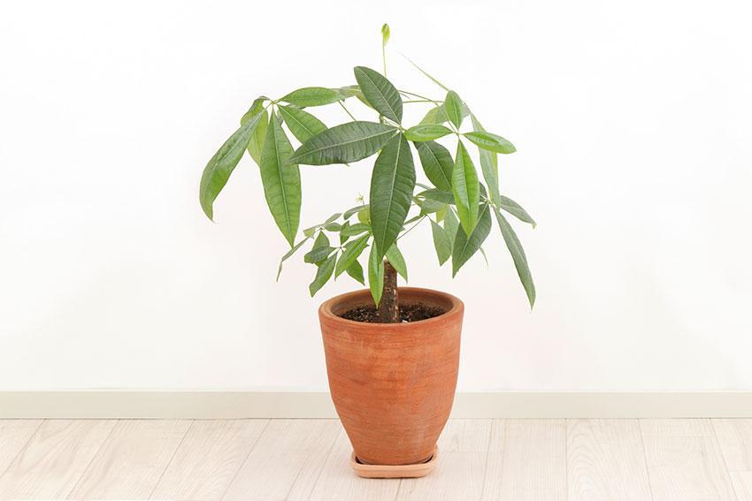 https://cf.ltkcdn.net/garden/images/slide/192019-850x567-Pachira-plant-in-a-pot.jpg