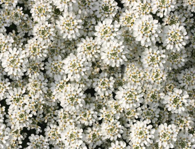 https://cf.ltkcdn.net/garden/images/slide/193871-668x510-Candytuft-flowers.jpg