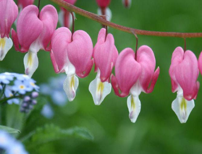 https://cf.ltkcdn.net/garden/images/slide/193872-668x510-Bleeding-Hearts.jpg