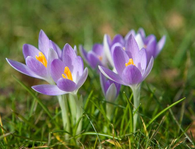 https://cf.ltkcdn.net/garden/images/slide/193873-668x510-Crocus-flowers.jpg