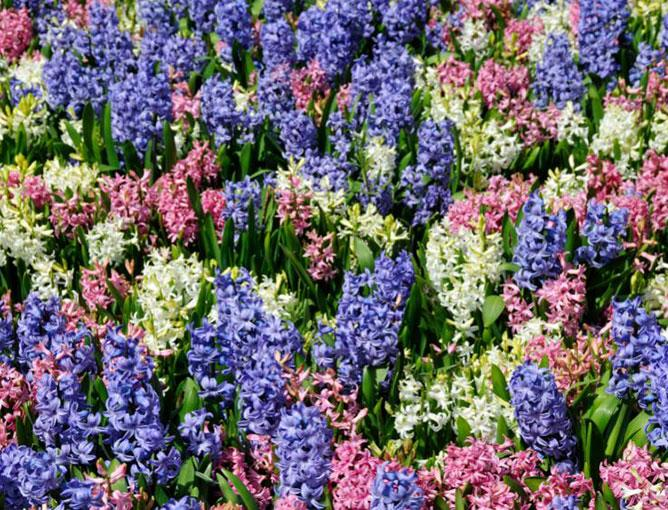 https://cf.ltkcdn.net/garden/images/slide/193875-668x510-Hyacinths-flowers.jpg