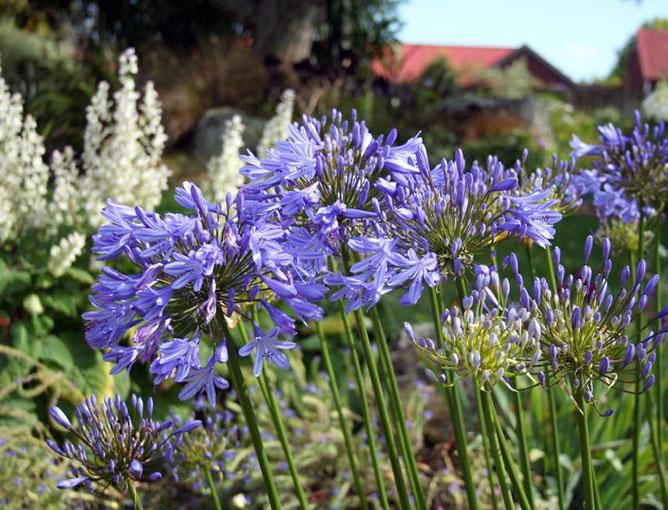 https://cf.ltkcdn.net/garden/images/slide/193876-668x510-African-Lily.jpg