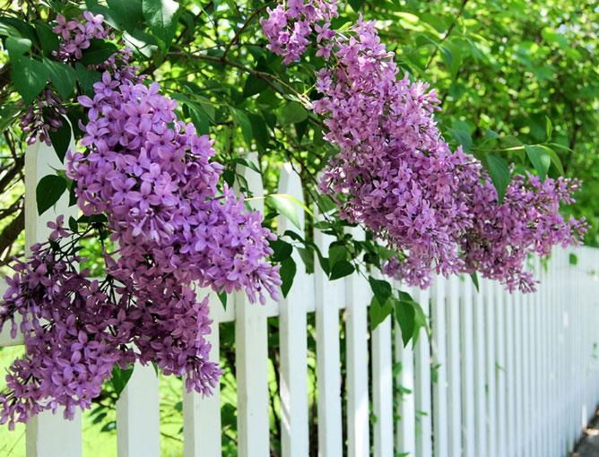 https://cf.ltkcdn.net/garden/images/slide/193882-668x510-Lilacs-flowers.jpg