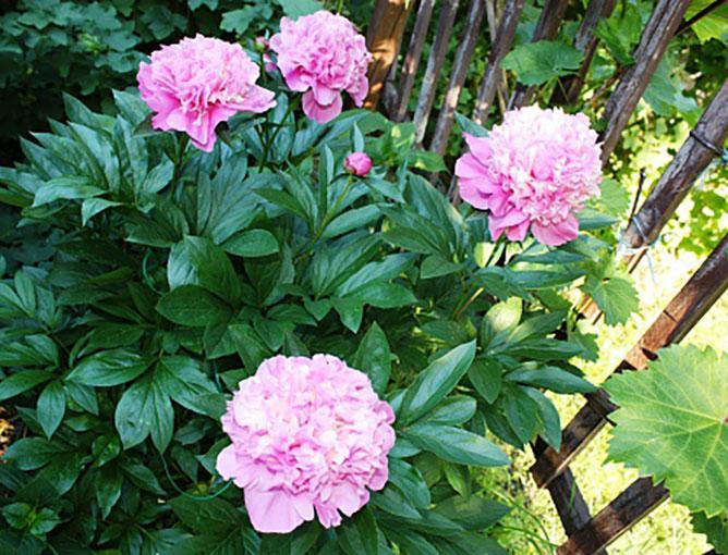 https://cf.ltkcdn.net/garden/images/slide/193883-668x510-Peonies-flowers.jpg