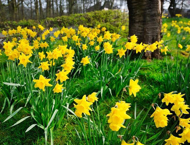 https://cf.ltkcdn.net/garden/images/slide/193884-668x510-Daffodils-flowers.jpg