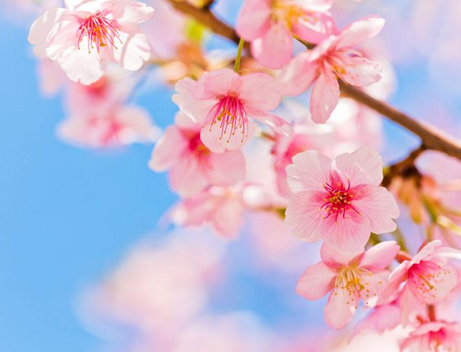 https://cf.ltkcdn.net/garden/images/slide/193885-668x510-Cherry-blossoms.jpg