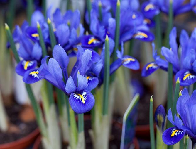 https://cf.ltkcdn.net/garden/images/slide/193888-668x510-Harmony-Iris.jpg
