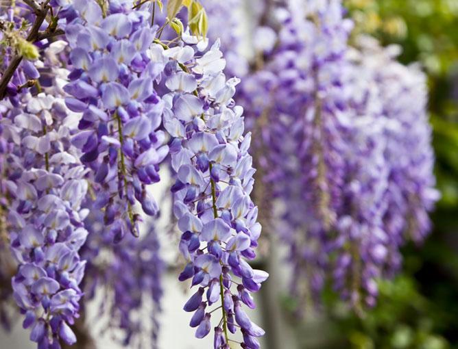 https://cf.ltkcdn.net/garden/images/slide/193891-668x510-Wisteria-flowers.jpg
