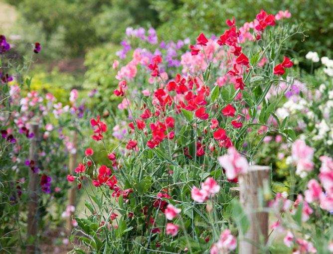 https://cf.ltkcdn.net/garden/images/slide/193893-668x510-Sweet-Pea.jpg