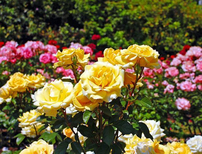 https://cf.ltkcdn.net/garden/images/slide/193894-668x510-Roses-flowers.jpg