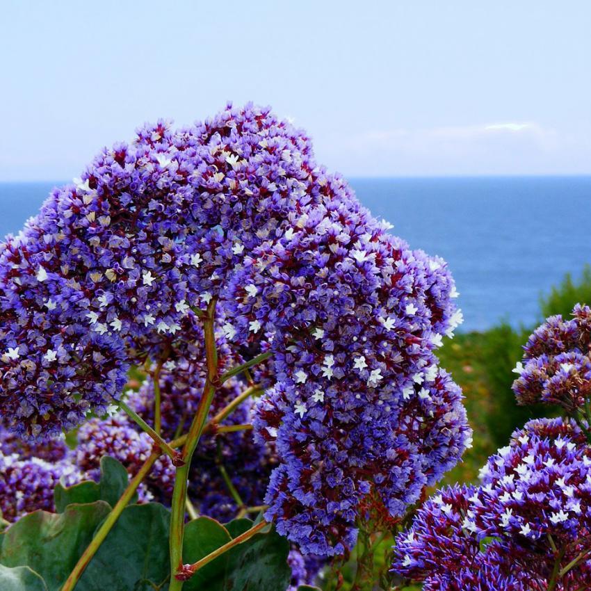 https://cf.ltkcdn.net/garden/images/slide/195365-850x850-Sea-Lavender.jpg