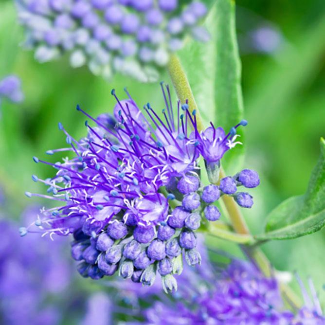 https://cf.ltkcdn.net/garden/images/slide/195368-668x668-Blue-spirea.jpg