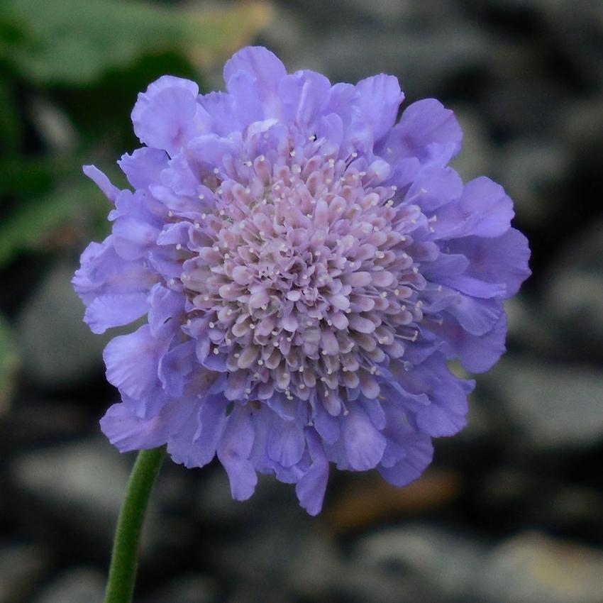 https://cf.ltkcdn.net/garden/images/slide/195370-850x850-Pincushion-flower.jpg