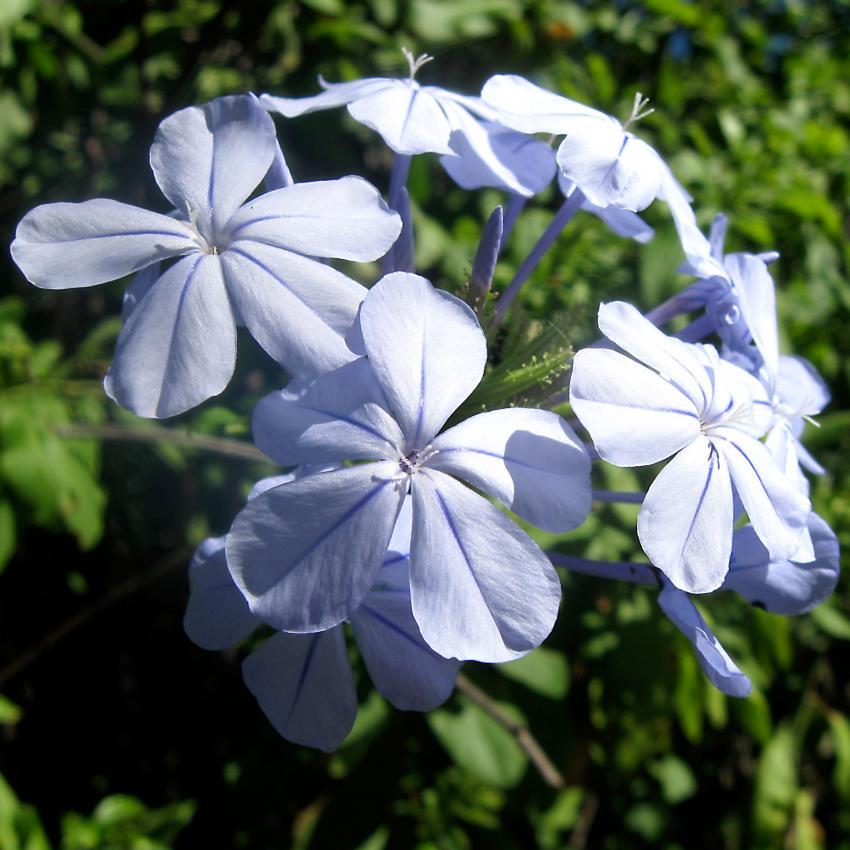 https://cf.ltkcdn.net/garden/images/slide/195378-850x850-Plumbago-flower.jpg