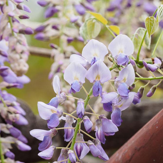 https://cf.ltkcdn.net/garden/images/slide/195385-668x668-Wisteria-flower.jpg