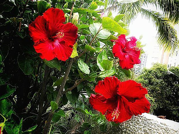 https://cf.ltkcdn.net/garden/images/slide/196625-620x465-Tropical-Hibiscus-flower.jpg