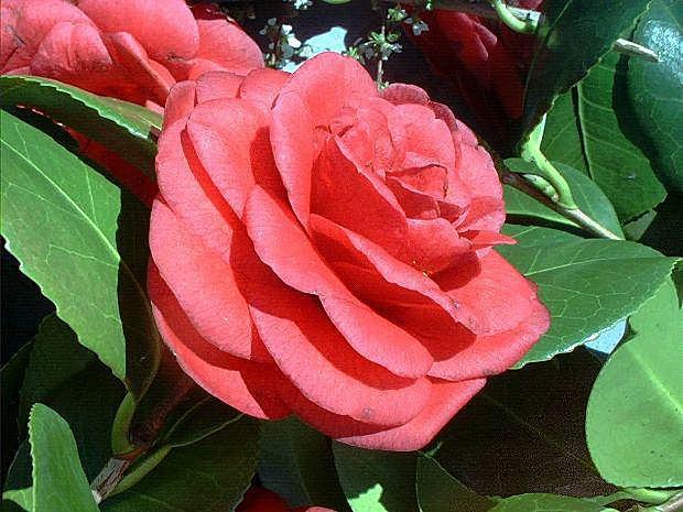 https://cf.ltkcdn.net/garden/images/slide/196632-620x465-Japanese-Camellia-flower.jpg
