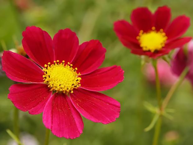 https://cf.ltkcdn.net/garden/images/slide/196635-620x465-Cosmos-flower.jpg