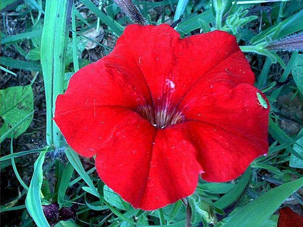https://cf.ltkcdn.net/garden/images/slide/196636-620x465-Petunia-flower.jpg