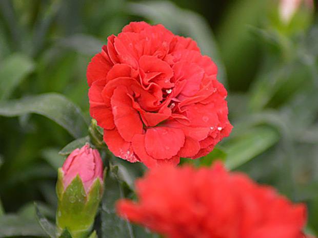 https://cf.ltkcdn.net/garden/images/slide/196640-620x465-Carnation-flower.jpg