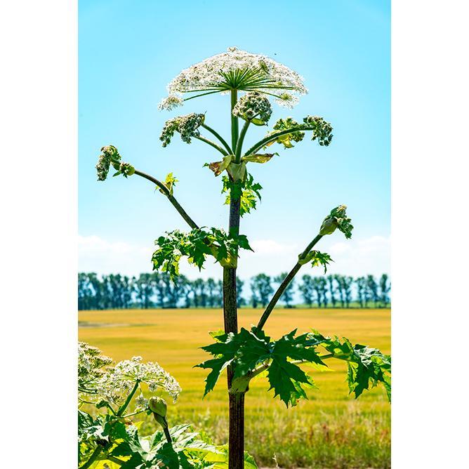 https://cf.ltkcdn.net/garden/images/slide/200045-668x668-Wild-Parsnip-root.jpg