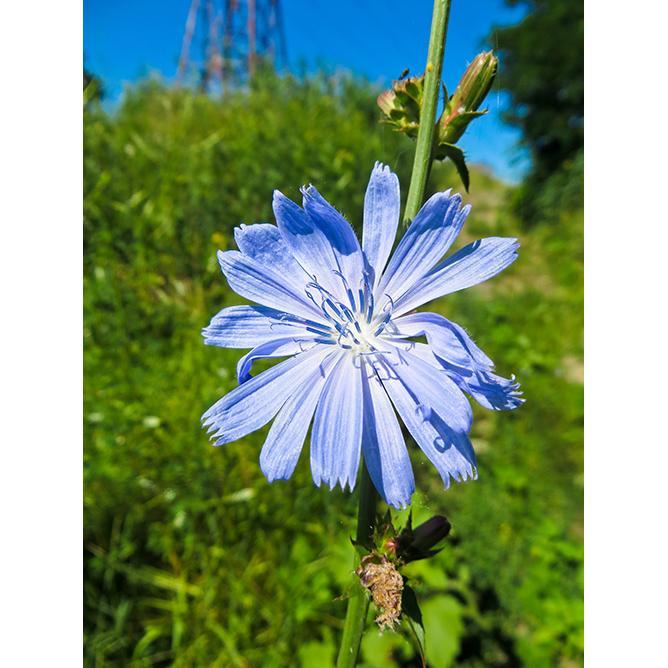 https://cf.ltkcdn.net/garden/images/slide/200049-668x668-Chicory-weed.jpg